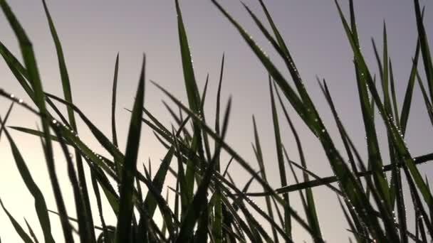 ranní trávě
