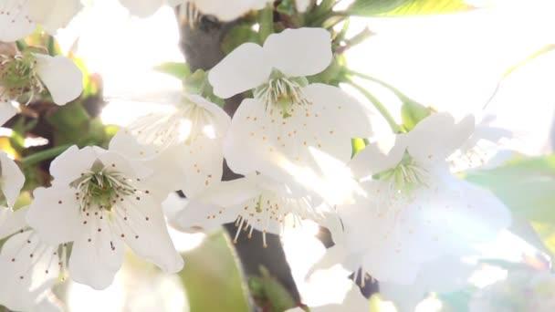 világos cseresznye virágok közelről