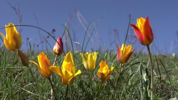 divoký stepní tulipány