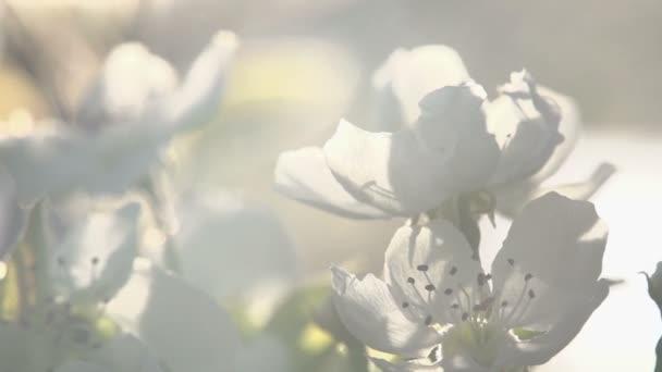 květiny kvetoucí hruška