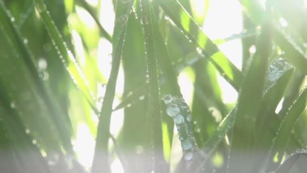 tráva po dešti