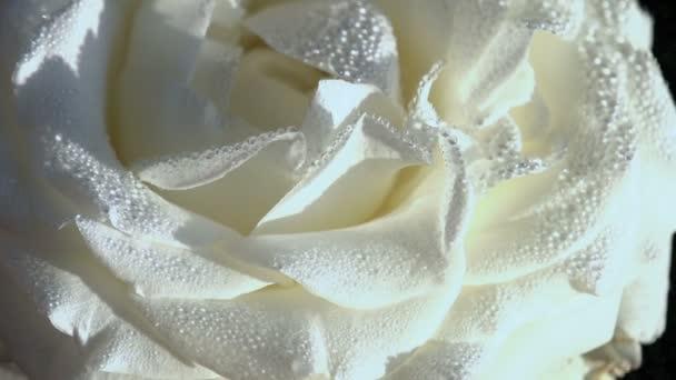 bílé růže v dewdrop
