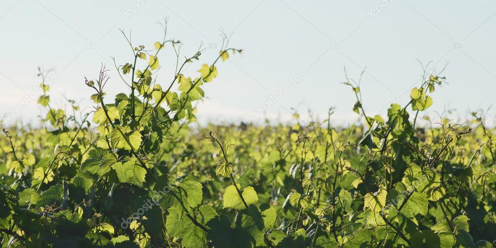 Grape leaves in sunlight