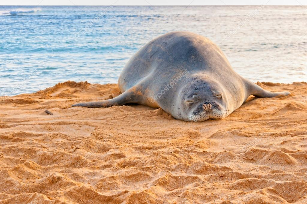 Hawaiian Monk Seal rests on Poipu beach in Kauai, Hawaii