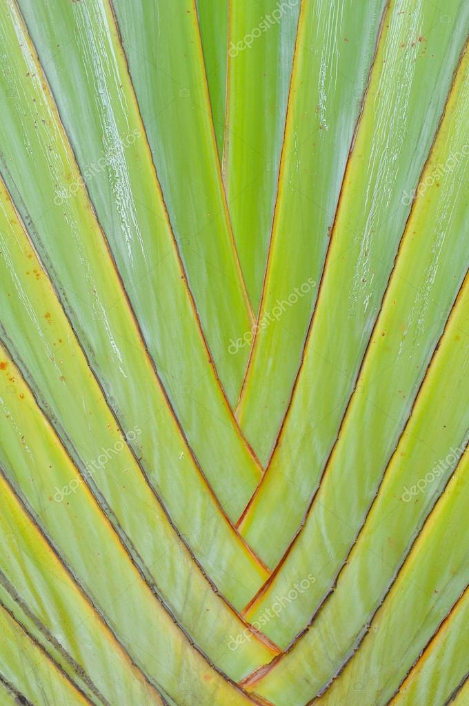 Leaf bases on a Traveler's Palm (Ravenala madagascariensis)