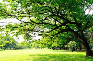 Big tree's branches with fresh leaves on green meadow in sunny d