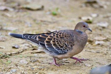 Oriental Turtle Dove,Streptopelia orientalis