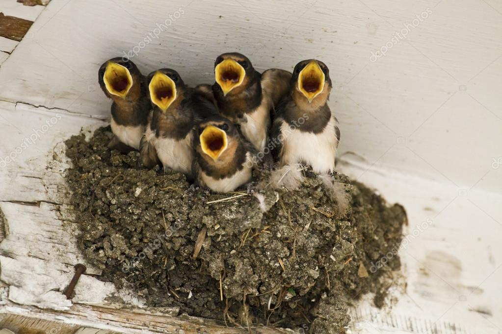 swallow nest with chicks