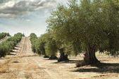 Photo Olive trees