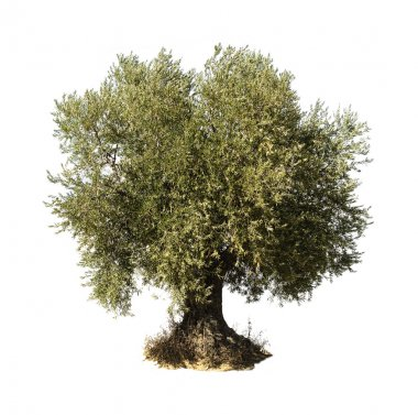 Olive tree white isolated