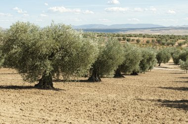 Olive trees in a row. Plantation and cloudy sky stock vector