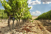 Vineyards in rows and blue sky