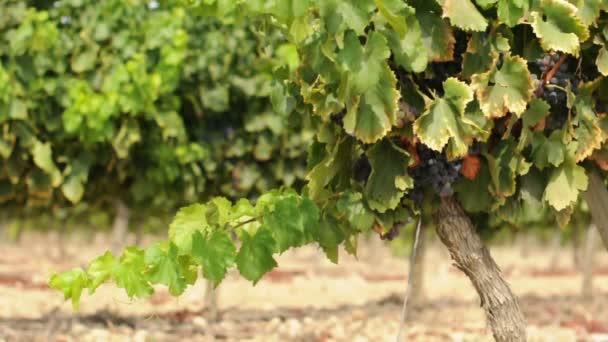 vinice a vinné hrozny clusteru