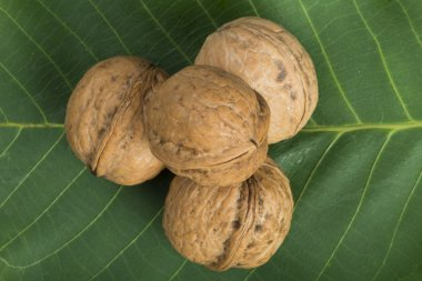 Ripe walnuts on leave