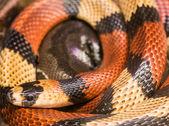 červený had mléka
