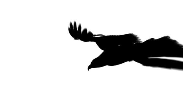 letící orel v černém izolované na bílém pozadí
