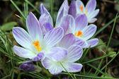 lila tavaszi virágok - hóvirág