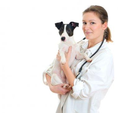 Female veterinarian holding jack russell terrier. Isolated on white