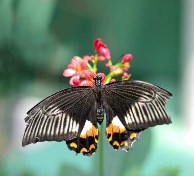 Black butterfly with orange and white markings