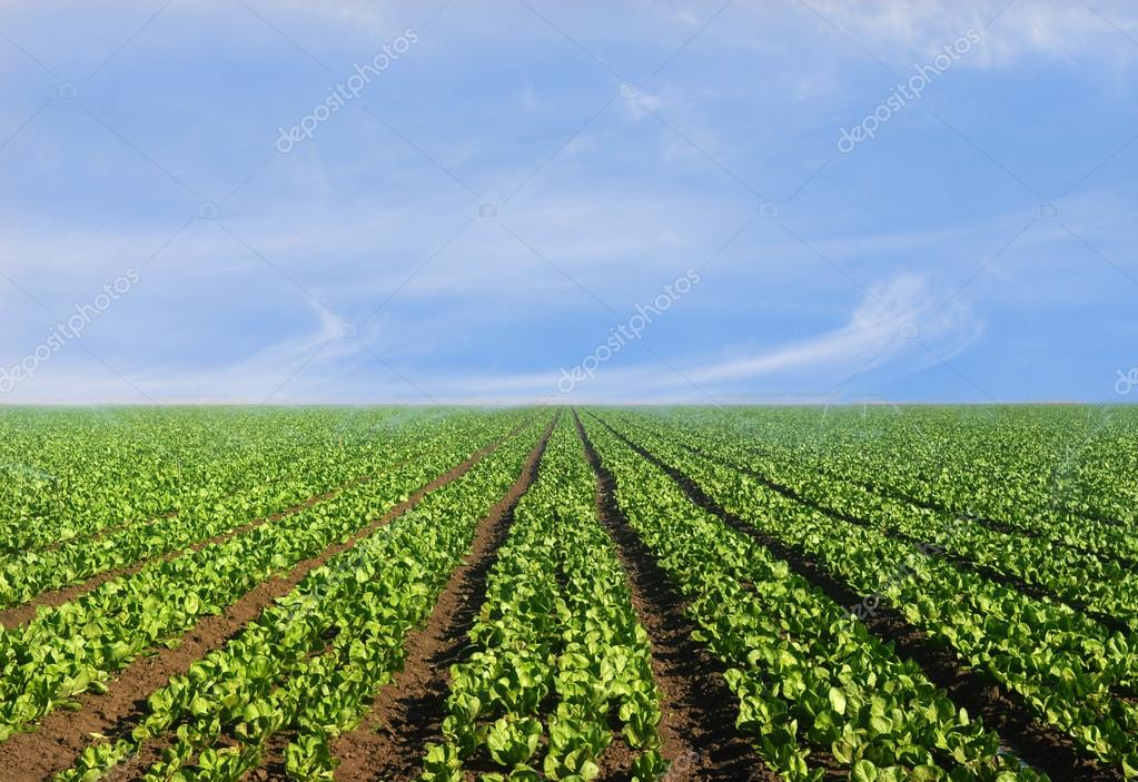 Lush agricultural field of lettuce