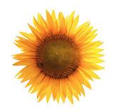 Slunečnicový květ