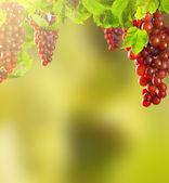 růžové víno hrozny