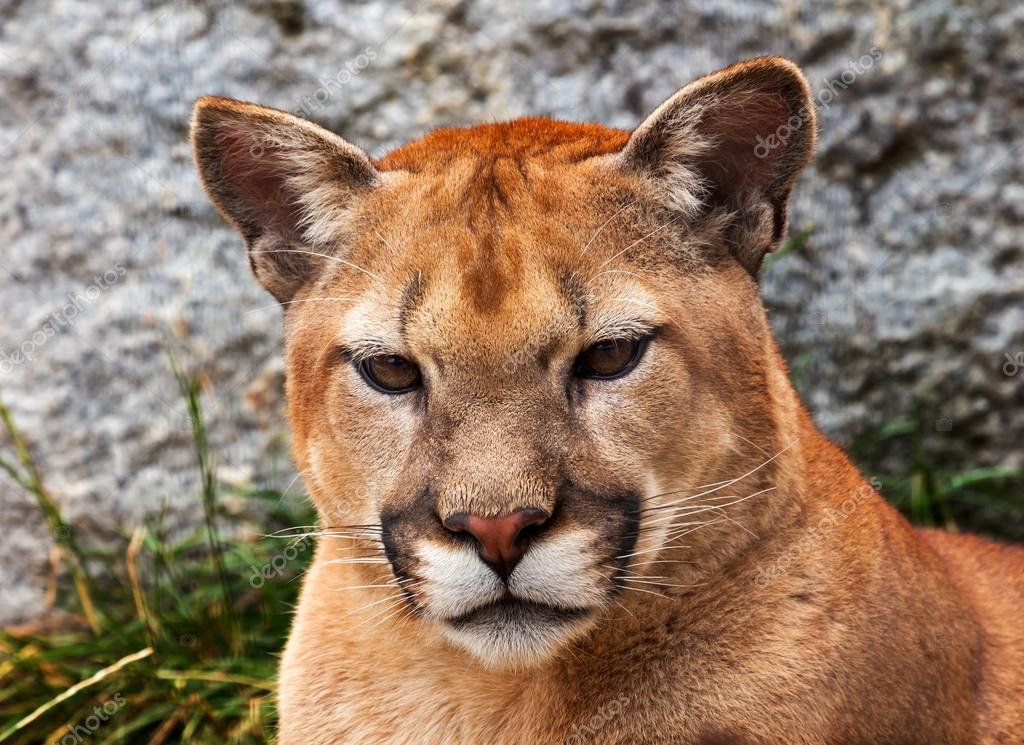 Mountain Lion Closeup Head Cougar Looking at You Puma Concolor