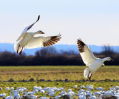 Fotografie Schnee Gänse Flügel erweitert Landung