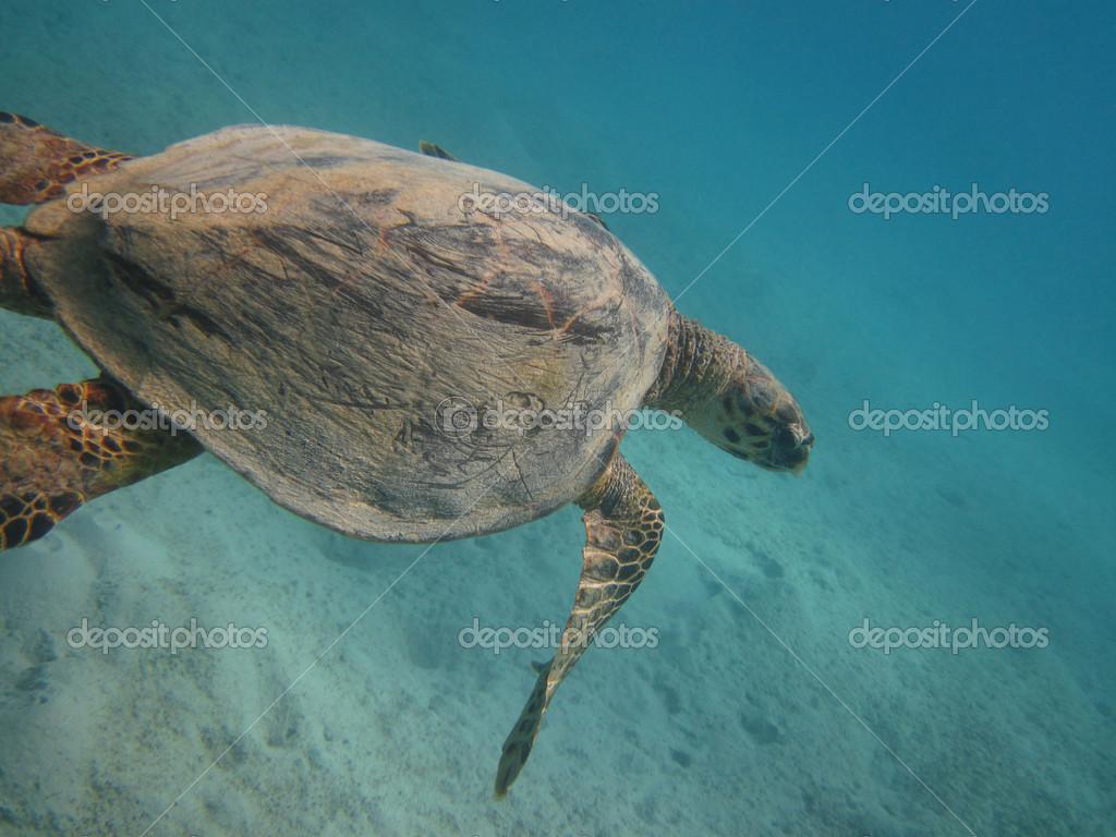 Schildkröten in tropisch unterwasser — Stockfoto © yogo #40949071