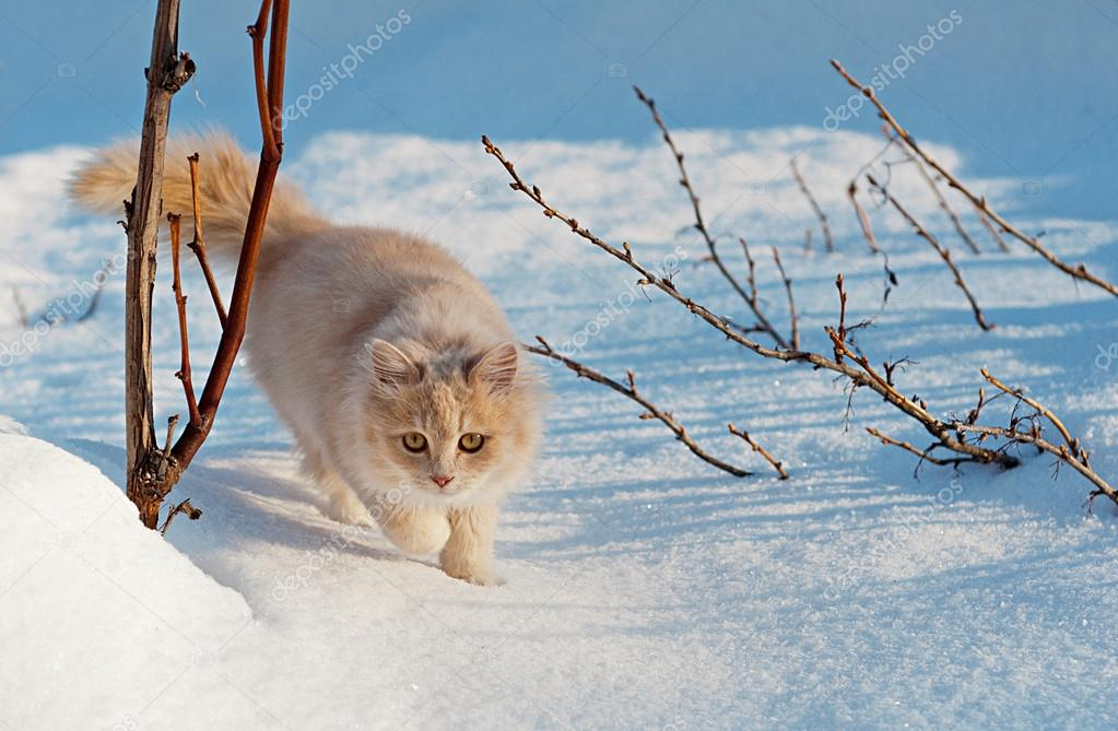 cat gently walking through the snow
