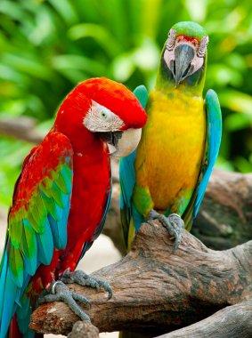 Couple macaw