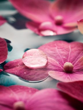 Closeup of pink hortensia flowers floating in water stock vector