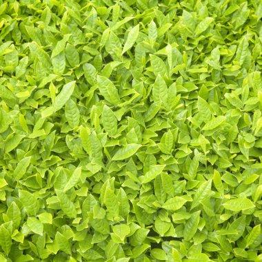 Fresh Tea Leaf Textures Background