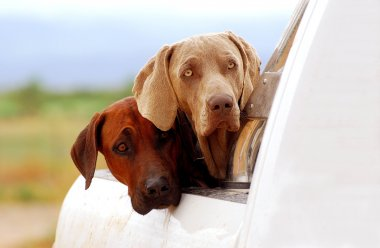 Farm dogs on pick-up
