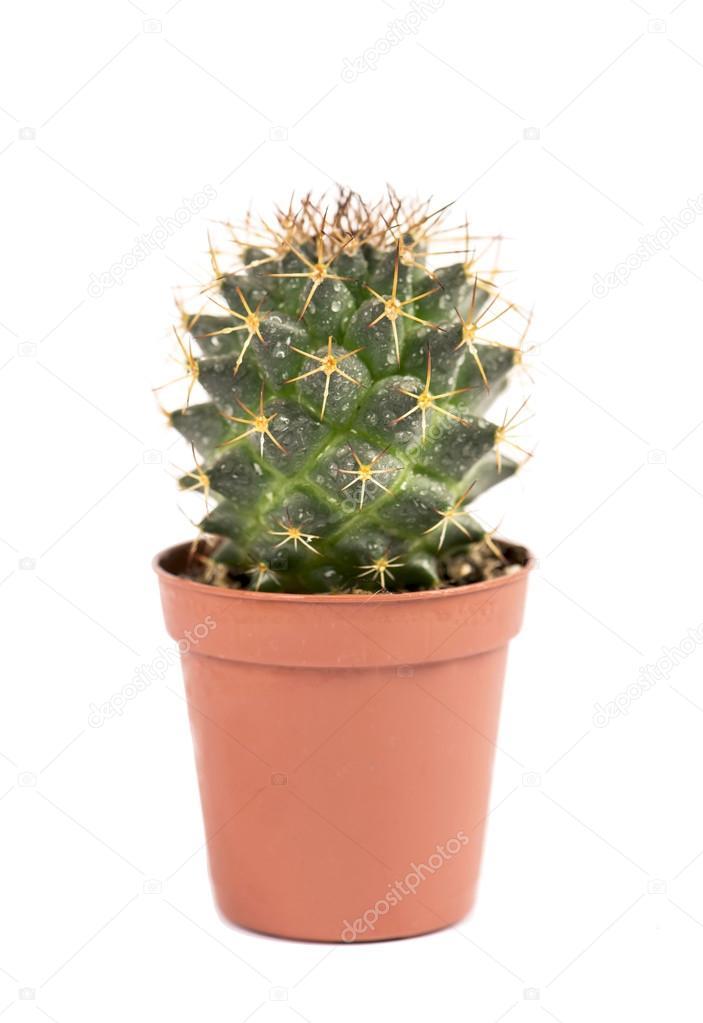 Der kleine kaktus zimmerpflanze im topf hautnah stockfoto aprilphoto 32158017 - Kleine zimmerpflanzen ...