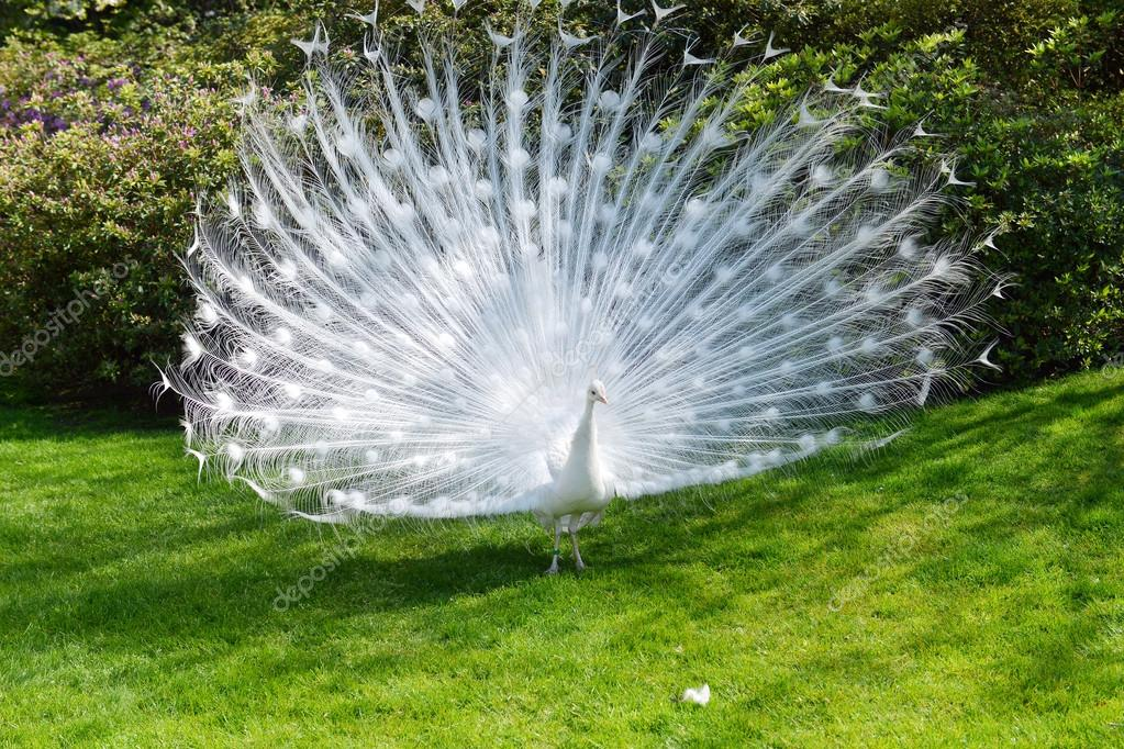 white peacock with flowing tail