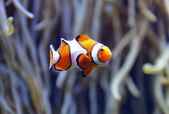 Photo clown fish aquarium