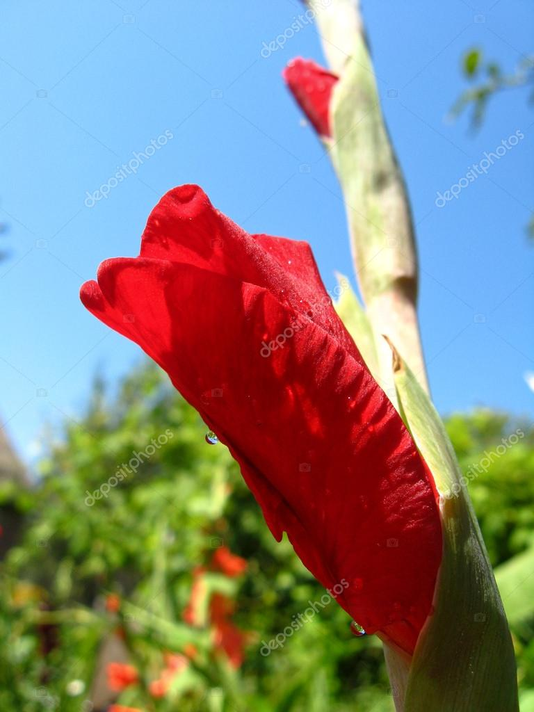 A Beautiful Flower Of Not Dismissed Gladiolus Stock Photo