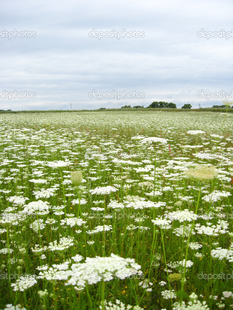 Summer Landscape With Field Of White Flowers Stock Photo