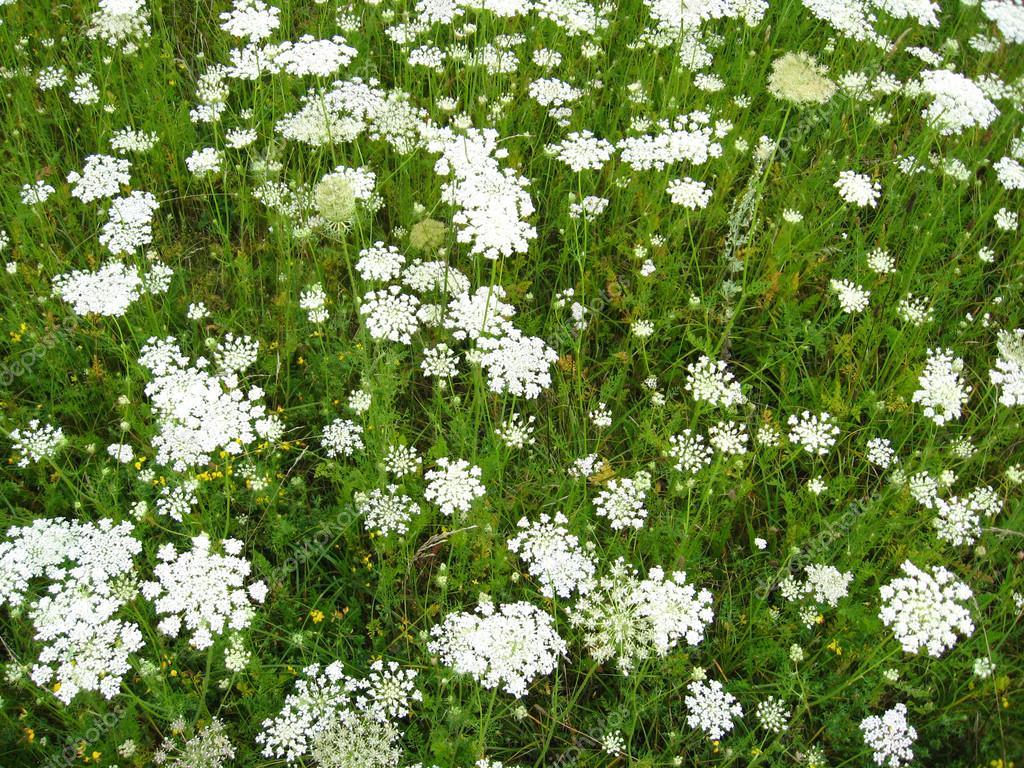 paysage d 39 t avec champ de fleurs blanches photo 17863639. Black Bedroom Furniture Sets. Home Design Ideas