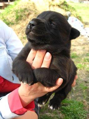 Big black puppy in a hand