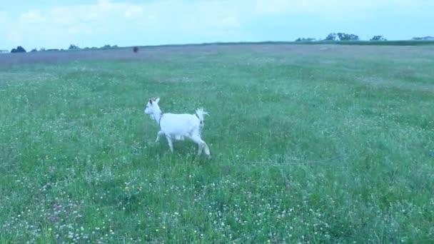 kozí pastva na pastvině