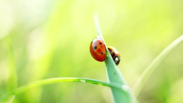 Two ladybirds on grass. Close up