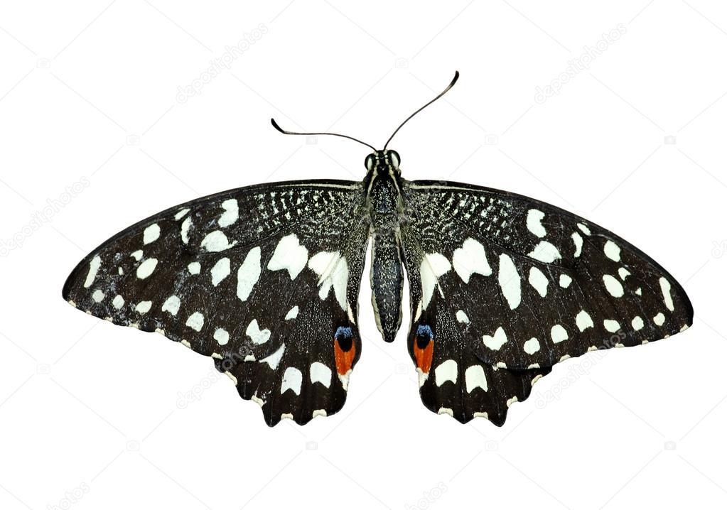 縞のアゲハチョウ — ストック写...