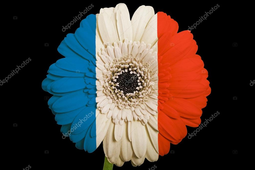 Gerbera Daisy Flower In Colors National Flag Of France On Bl Stock
