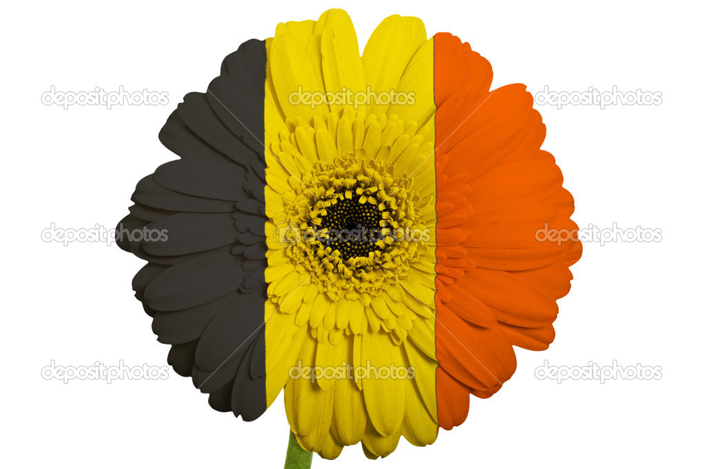 Gerbera daisy flower in colors national flag of belgium on whi gerbera daisy flower in colors national flag of belgium on white background as concept and symbol of love beauty innocence and positive emotions photo mightylinksfo