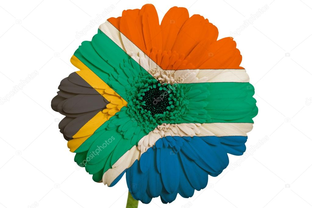 gerbera daisy flower in colors national flag of south africa o