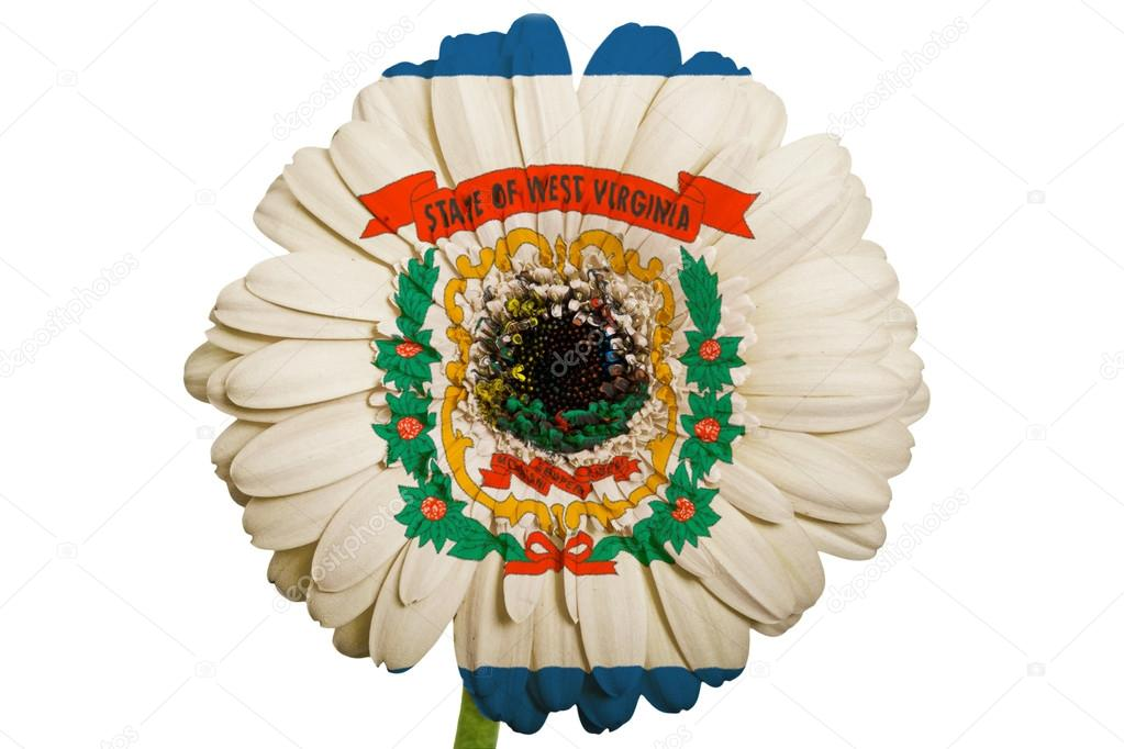 Gerbera Daisy Flower In Colors Flag Of American State Of West Vi