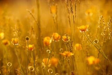 Rays of the setting sun on yellow flowers