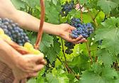 Fotografia raccolta dell uva